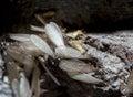 Eastern subterranean termites, Winged termites, Reticulitermes flavipes