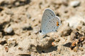 Eastern tailed blue buterfly collecting minerals from the pathway Royalty Free Stock Image