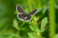 Eastern tailed blue butterfly perched on a green leaf Stock Photos