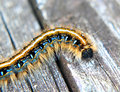 Eastern Tent Caterpillar Royalty Free Stock Photo