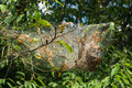 Eastern Tent Caterpillar Nest – Mallacoota americanum Royalty Free Stock Photo