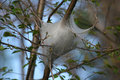 Eastern Tent Caterpillar Nest Royalty Free Stock Photo