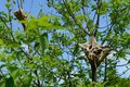 Eastern Tent Caterpillar Nests Royalty Free Stock Photo