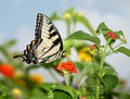 Eastern Tiger Swallowtail Royalty Free Stock Photo