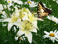 Eastern tiger swallowtail butterfly and flowers Royalty Free Stock Photos