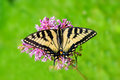 Eastern tiger swallowtail full wingspan top a close up view of an butterfly on a flower with a Royalty Free Stock Photo