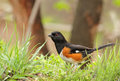 Eastern towhee pipilo erythrophthalmus in the grass Stock Photography