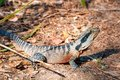 eastern water dragon lizard on the ground Royalty Free Stock Photo