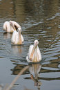 Eastern White Pelican Royalty Free Stock Photo