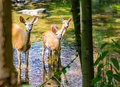 Eastern whitetail deer doe and two fawns in a stream Royalty Free Stock Photo