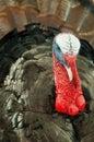 Eastern Wild turkey Stock Image