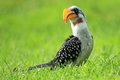 Eastern yellow-billed hornbill Royalty Free Stock Photo