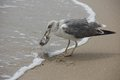 Easy prey the unfortunate fish is caught by the sea gull on the beach Stock Photography