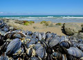 Eatable mussels on a coast Royalty Free Stock Photo