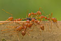 Is eating an art ants are eusocial insects of the family formicidae and along with the related wasps and bees belong to the order Stock Photography
