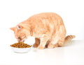 Eating cat ginger tabby isolated on white background Royalty Free Stock Images