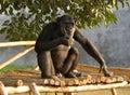 Eating chimpanzee Stock Photos
