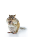 Eating chipmunk cute dry vegetable isolated on white background Stock Image