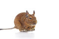 Eating Degu Royalty Free Stock Image