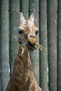 Eating giraffe Royalty Free Stock Photo