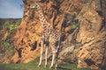 Eating giraffe on safari wild drive Royalty Free Stock Photo