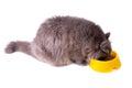 Eating grey cat