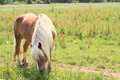 Eating horse brown with white mane the grass on pastureland Royalty Free Stock Images