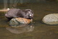 Eating otter oriental small clawed aonyx cinerea fish sitting on rock Stock Image