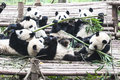 Eating pandas Royalty Free Stock Photography