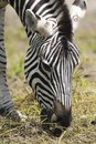 Eating zebra Royalty Free Stock Photography