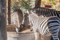 Eating zebras in zoo Royalty Free Stock Photo