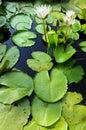 Eau doux du lotus Thai.Beautiful pour le jardin. Image stock