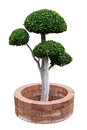 Ebony bonsai tree on the bricks around isolated a white background Royalty Free Stock Image