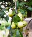 Ebony fruit and leaf on tree in thailand Royalty Free Stock Images