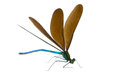 Ebony Jewelwing Stock Image