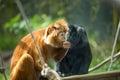 Ebony langur black and orange langurs on tree Royalty Free Stock Images