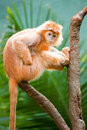 Ebony langur perched on a branch Stock Images