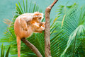 Ebony langur perched on a branch in thoughtful pose Royalty Free Stock Image