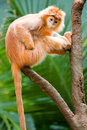 Ebony langur sitting in tree branch Stock Photos