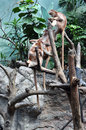Ebony langurs at the bronx zoo in nyc Stock Image