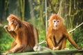 Ebony langurs orange monkeys two funny langur monkey sitting on tree Royalty Free Stock Photography