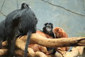 Ebony leaf monkey the group of monkeys Royalty Free Stock Images