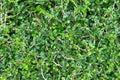 Ebony tree green is background Royalty Free Stock Photo