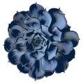Echeveria-blue