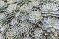 Echeveria elegans Royalty Free Stock Photo