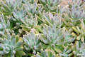 Echeveria harmsii Royalty Free Stock Photos