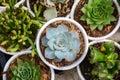 Echeveria plants Royalty Free Stock Photo