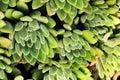 Echeveria Setosa in the garden Royalty Free Stock Photo
