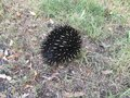 Echidna in grass Royalty Free Stock Photo