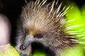 Echidna an latin tachyglossidae sheltering in a hole Stock Photo